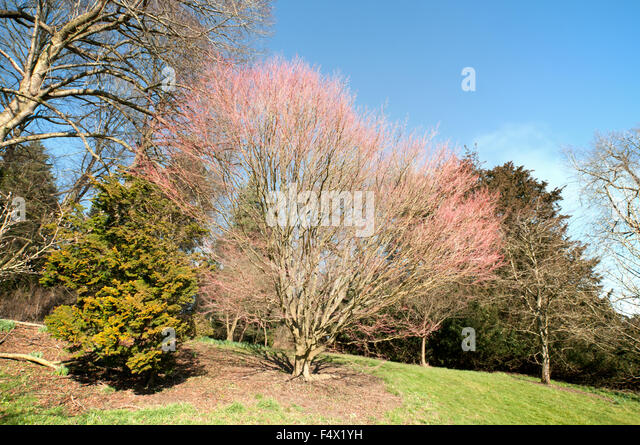 acer palmatum sango kaku coral stock photos acer palmatum sango kaku coral stock images alamy. Black Bedroom Furniture Sets. Home Design Ideas