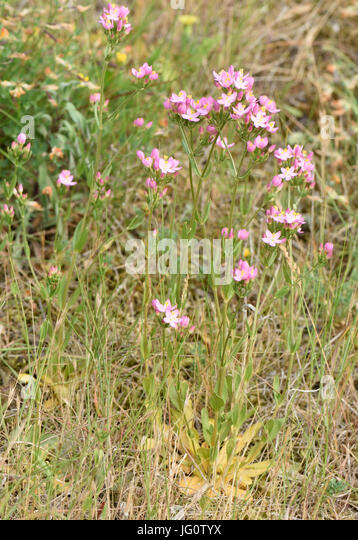 Flowers of common centaury (Centaurium erythraea). Bedgebury Forest, Kent, UK. - Stock Image