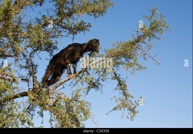 how to grow argan tree