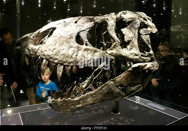 Saurus stock photos saurus stock images alamy der kopf des tyrannus saurus rex tristan otto naturhistorisches museum berlin thecheapjerseys Image collections