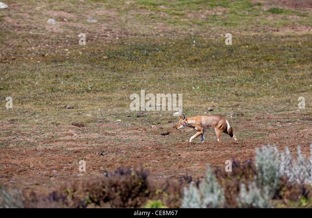 Ethiopian Wolf (canis Simensis) Stock Photos & Ethiopian ...