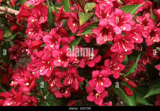 weigela weigela bristol ruby stock photos weigela weigela bristol ruby stock images alamy. Black Bedroom Furniture Sets. Home Design Ideas