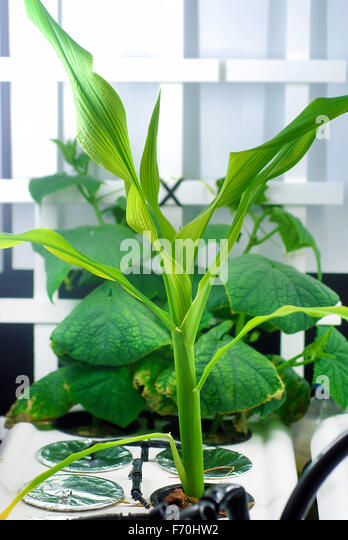 Merveilleux Corn And Cucumbers Growing In An Indoor Home Hydroponic System   Stock Image