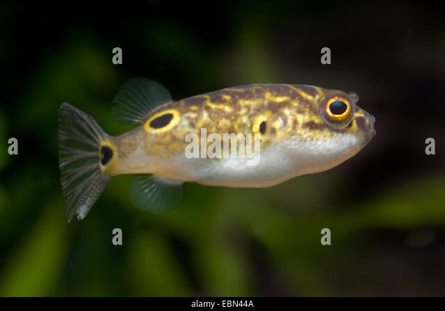 Puffer Fish Stock Photos Puffer Fish Stock Images Alamy