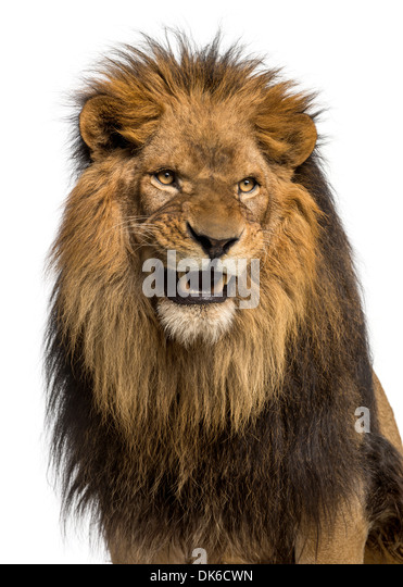 Lion Growling Front View | www.imgkid.com - The Image Kid ...
