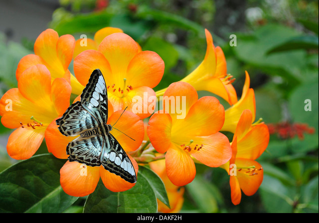 tropical rhododendron stock photos  tropical rhododendron stock, Beautiful flower