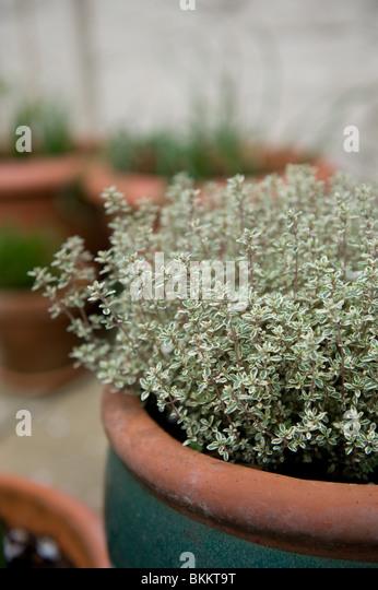 Urban Backyard Golden : Variegated Golden Lemon Thyme growing in a pot in and urban garden