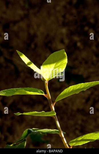 calabash bay leaves Calabash parkway revision american living in english 102, we have read two novels entitles bay leaves and cinnamon sticks and calabash parkway in both novels we read the story of women who left their home country and families to come to america, new york to be specific.