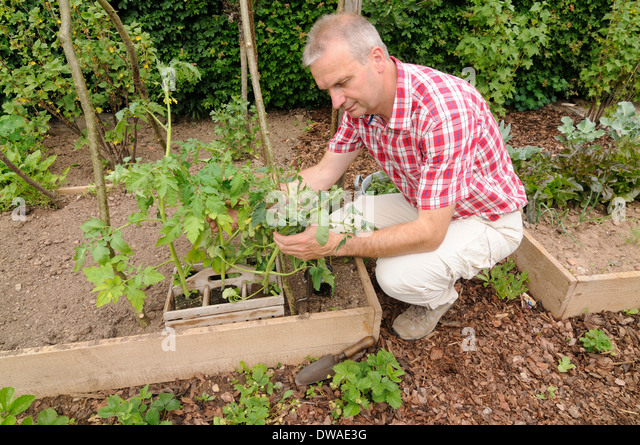planting tomatoes stock photos amp planting tomatoes stock