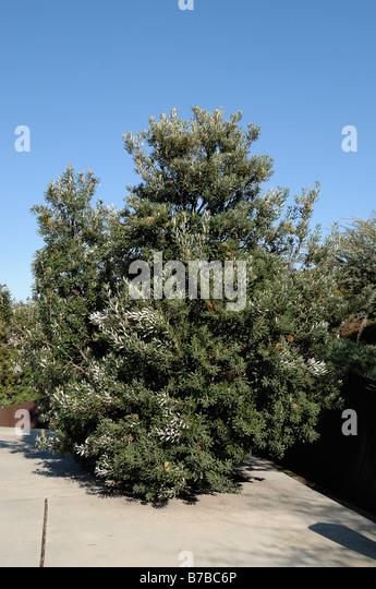 banksia tree stock photos  u0026 banksia tree stock images