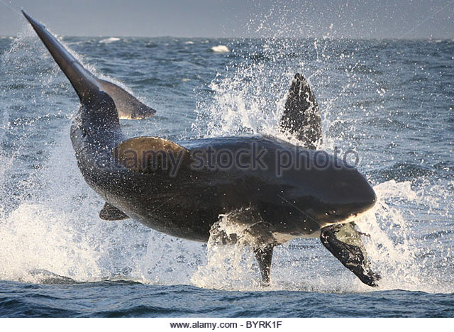 Great White Shark Attack Seal
