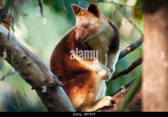 goodfellows tree kangaroo dendrolagus goodfellowi stock image