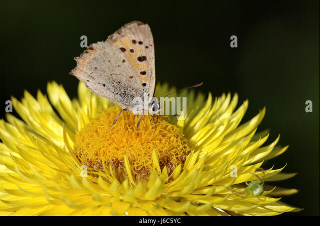 Small Fire Falter,straw Flower   Stock Image
