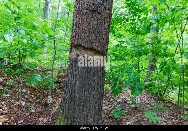 Softwood Trees In Florida ~ Girdled tree stock photos images alamy