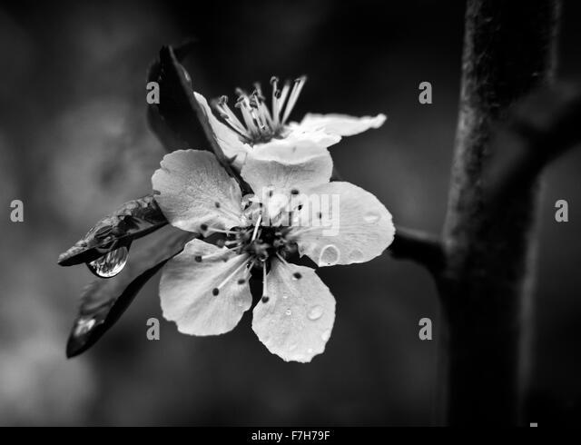 Black And White Cherry Blossom Photography | www.pixshark ...