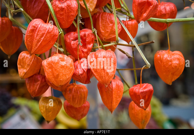 dry japanese lantern flowers physalis stock photos  dry japanese, Beautiful flower