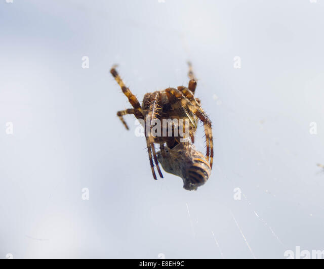 spider eating wasp stock photos spider eating wasp stock. Black Bedroom Furniture Sets. Home Design Ideas