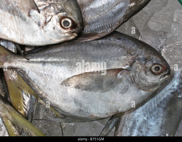 Pompano stock photos pompano stock images alamy for Picture of pompano fish