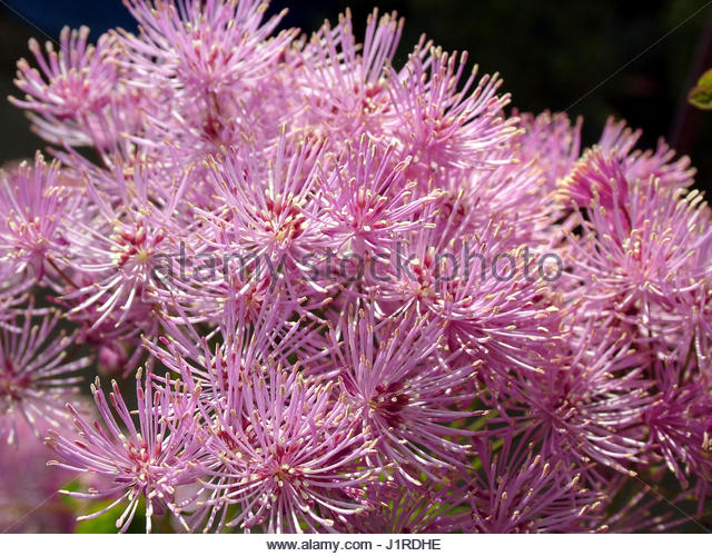 Thalictrum stock photos thalictrum stock images alamy for Thalictrum rochebrunianum rhs