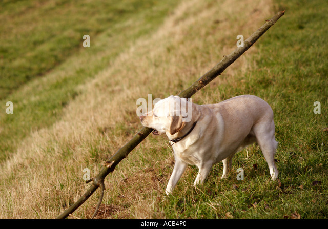 Dragging Dog Stock Photos Amp Dragging Dog Stock Images Alamy