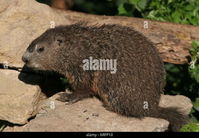 Groundhog stock photos groundhog stock images alamy for Woodchuck usa