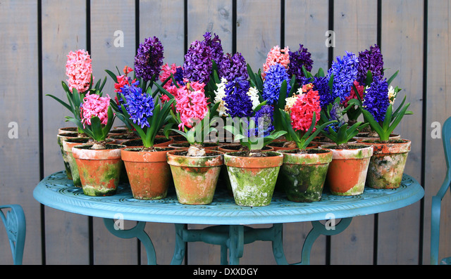 Terra cotta flower pots stock photos terra cotta flower pots stock images alamy - Planting hyacinths pots ...