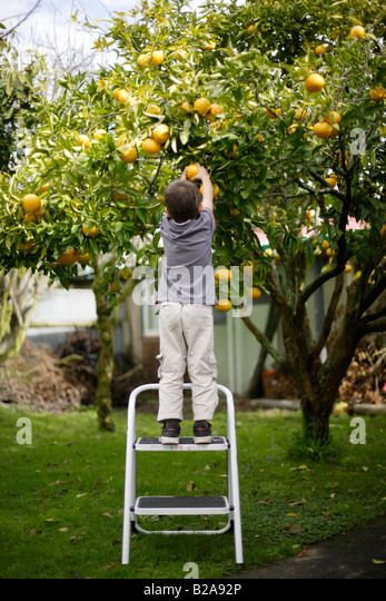 Nice Fruit Tree Garden Stock Photos  Fruit Tree Garden Stock Images  With Interesting Child On Steps Picks Grapefruit From Tree In Garden Six Year Old Boy Mixed  Race Indian With Agreeable Growing Herbs In The Garden Also How To Make A Garden For Kids In Addition Can I Build A Summer House In My Garden And Gardens Inc As Well As Rose Garden Rome Additionally Bridal Garden From Alamycom With   Interesting Fruit Tree Garden Stock Photos  Fruit Tree Garden Stock Images  With Agreeable Child On Steps Picks Grapefruit From Tree In Garden Six Year Old Boy Mixed  Race Indian And Nice Growing Herbs In The Garden Also How To Make A Garden For Kids In Addition Can I Build A Summer House In My Garden From Alamycom