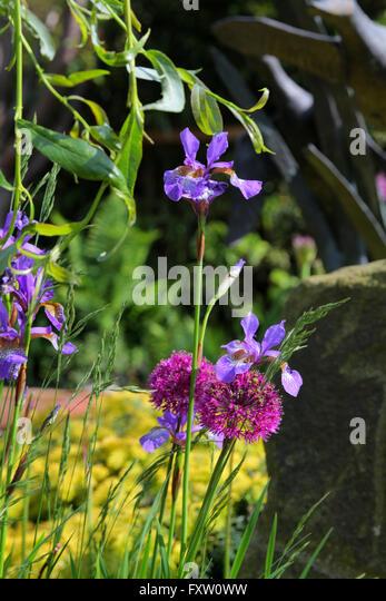 Wedding Flowers Scarborough North Yorkshire : Blue flag iris versicolor flower stock photos