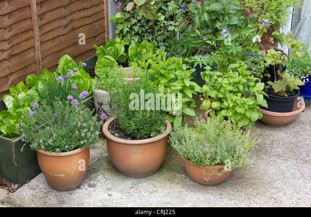 A Selection Of Culinary Herbs In Pots On A Patio   Stock Image
