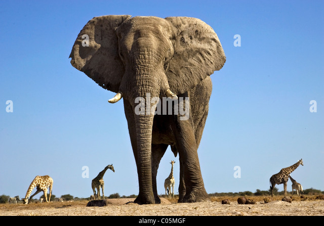 elephant-and-giraffes-etosha-national-pa