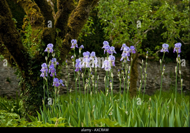 Iris And Old Espallier Apple Tree In The Walled Garden, Lismore Castle,  County Waterford