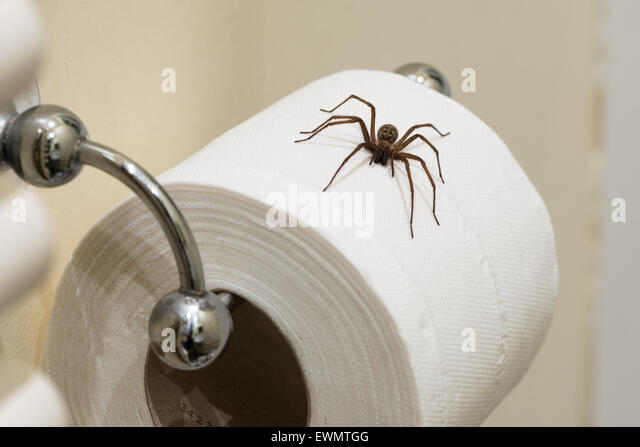 Fear of entering the bathroom the largest British domestic spider Tegenaria  parietina hangs on a loo. Andrex Toilet Tissue Stock Photos   Andrex Toilet Tissue Stock