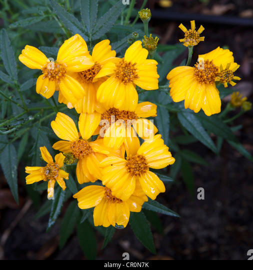 Marigold Tagetes Stock Photos & Marigold Tagetes Stock ...