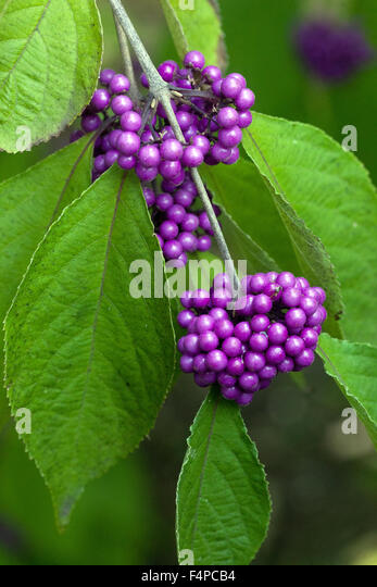 callicarpa bodinieri profusion stock photos callicarpa. Black Bedroom Furniture Sets. Home Design Ideas