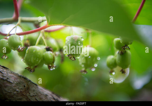 how to grow kiwi berries from seeds