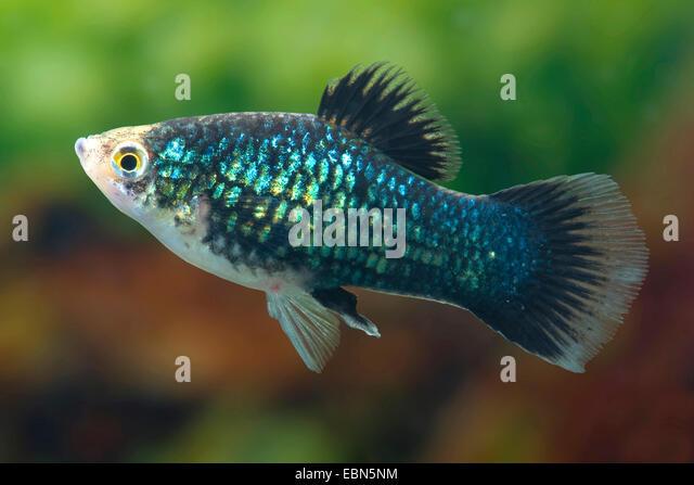 southern platyfish (Xiphophorus maculatus), male, breed Black - Stock ...
