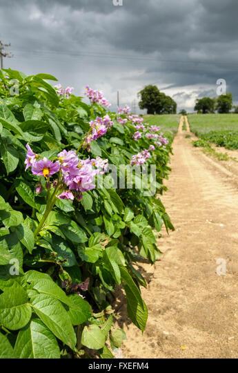 A Potato Field In Bloom Near Snape Suffolk England Uk Stock