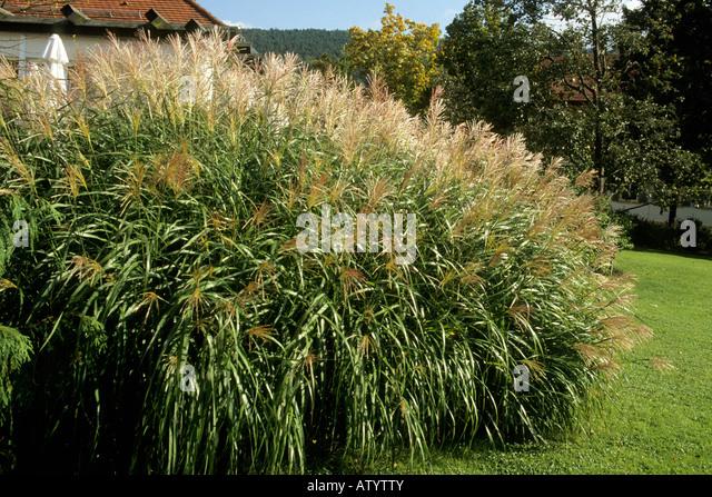 Ornamental Grasses Kenya : Grass eulalia maiden zebra porcupine