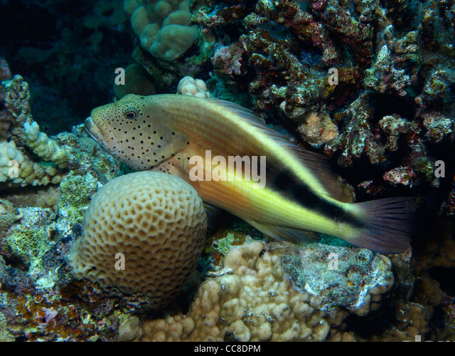 Red sea sponge stock photos red sea sponge stock images for 1041 the fish