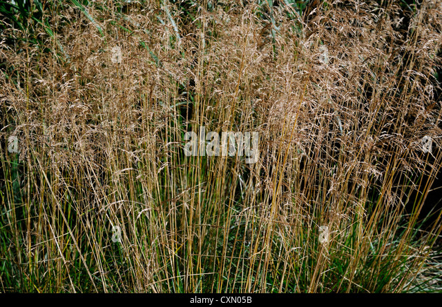 Deschampsia stock photos deschampsia stock images alamy for 6 foot tall ornamental grass