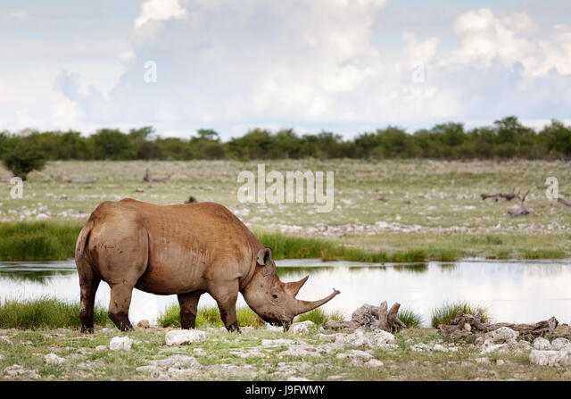 Rhino standing by a water hole, Etosha NP, Namibia. - Stock Image
