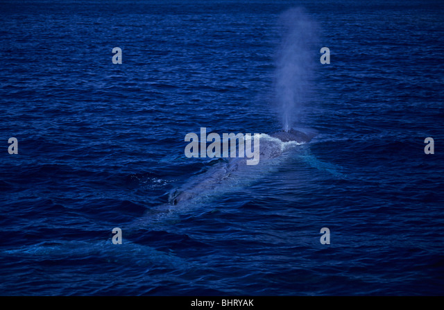 blue whale breathing