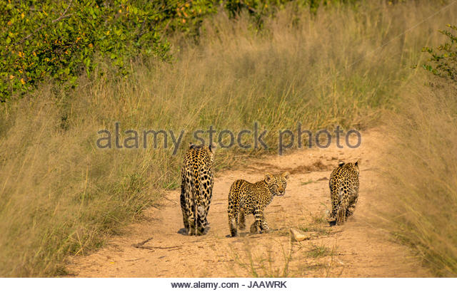 Mother leopard and cubs, Panthera pardus pardus, walking on dirt bush track, Sabi Sands Safari game reserve, Kruger, - Stock Image