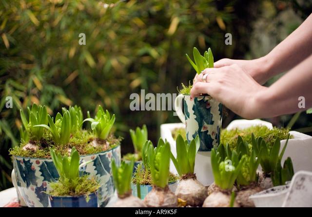 Bulb planting stock photos bulb planting stock images alamy - Planting hyacinths pots ...