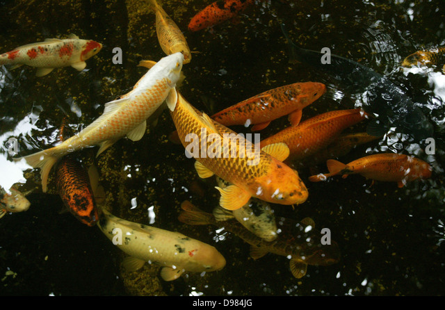 Koi stock photos koi stock images alamy for Silver koi fish