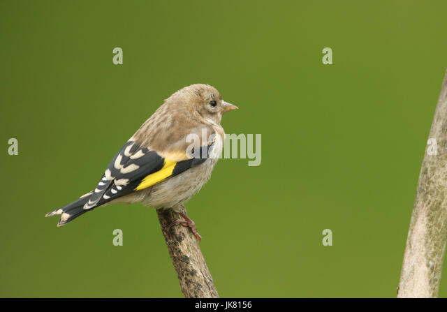 Baby Goldfinch Stock Photos Baby Goldfinch Stock Images Alamy