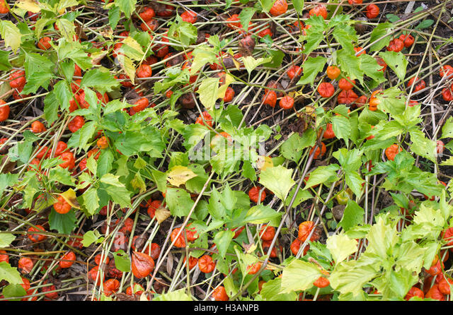 chinese lantern plant stock photos chinese lantern plant stock images alamy. Black Bedroom Furniture Sets. Home Design Ideas