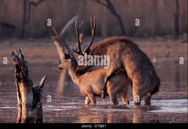 Sambar Deer | All About Exotics