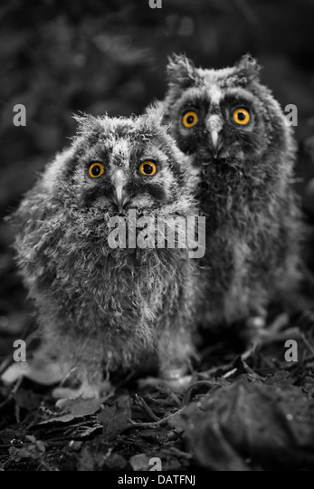 Baby Owls Stock Photos & Baby Owls Stock Images - Alamy Baby Owl Black And White