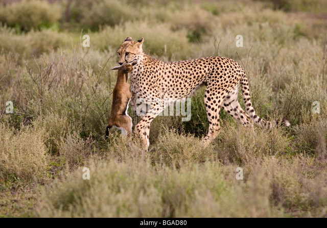 Baby Gazelle Stock Photos & Baby Gazelle Stock Images - Alamy